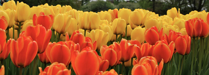 Washington Park Tulip Festival, Albany, New York